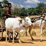 Bullocks in Cambodia_opt